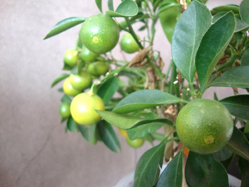 citrusy_